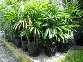 Palmeira-ráfia: como cuidar, dicas