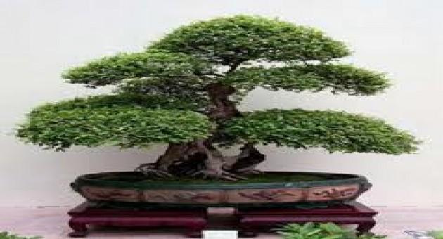 Como cuidar de bonsai - Como cuidar bonsais ...